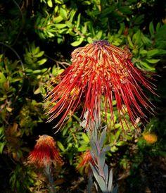 Leucospermum reflexum [Family: Proteaceae], Cal Poly Leaning Pine Arboretum - Flickr - Photo Sharing!