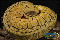 Lemon Blast Ball Pythons for sale at Reptiles by Mack