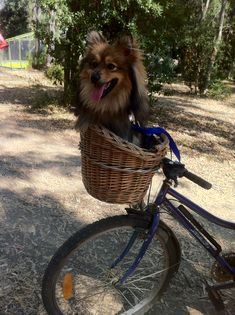 Spitz Pomeranian, Wicker, Bicycle, Puppies, Chair, Furniture, Home Decor, Bike, Cubs
