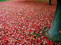 Google Image Result for http://www.travelimg.org/wp-content/uploads/2012/02/autumn-leaves-red-tree.jpg