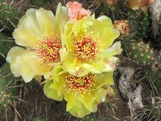 Opuntia fragilis var. fragilis