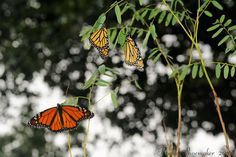 Monarchs roosting on