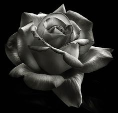rose photography black and white - Google Search