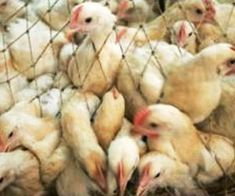 Conditions Linked To Bird Flu and Risk Areas Mapped: Study