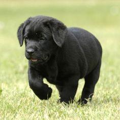 black lab puppy! soo adorable!