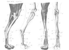 Dog anatomy - hind legs 2