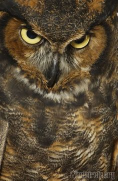 Great Horned Owl - he looks kinda mad Nocturnal Birds, Owl Pictures, Great Horned Owl, Owl Always Love You, Beautiful Owl, Wise Owl, Animal Totems, Owl Art, Birds Of Prey