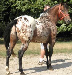 Un Appaloosa au modle Beautiful Horses Most Beautiful Horses, All The Pretty Horses, Animals Beautiful, Cute Horses, Horse Love, Horse Photos, Horse Pictures, Appaloosa Horses, Leopard Appaloosa