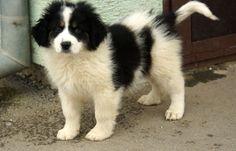 Tornjac puppy