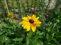 Weitere gelbe Blühpflanze für den heimischen Garten