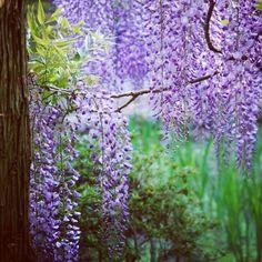 Лиловая Япония #глициния #вистерия #майские #Япония #лес www.midokoro.com