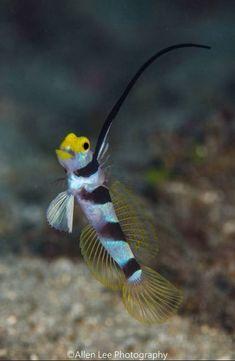 Blackray Shrimpgoby - by Allen Lee #Shrimpgoby