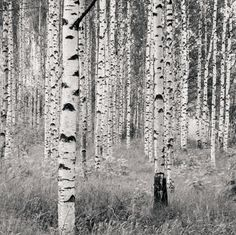 Birch Forest Wall Mural 12 ft 1 in x 8 ft 2 in - Mural Wallpaper Brick Wallpaper Roll, Wood Wallpaper, Wallpaper Panels, Photo Wallpaper, Wallpaper Murals, Winnie Pooh Tapete, Beach Wall Murals, Mural Wall, Wildlife Wallpaper