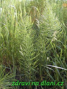 Přeslička rolní | Zdraví na dlani
