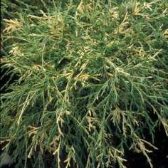 Variegated Threadleaf Cypress (2m high)A variegared form of threadleaf cypress with green and creamy-golden yellow foliage. Mounding habit.  Full sun to light shade. Canadale Nurseries Ltd.