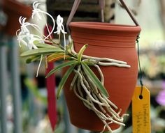 Neofinetia falcata 'Hakuun' - This is the first to bloom for us after starting it only a few months ago on one of our Terracotta Mounting Jars. This variety has nicely variegated leaves that look great even when the plant is not in flower. Even so I can't wait until the new growths flower for us also!