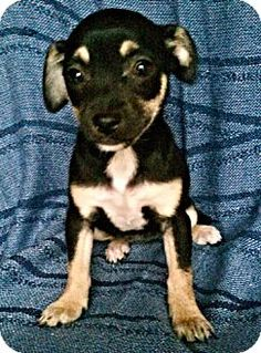 Brookside, NJ - Chihuahua Mix. Meet Carolina, a puppy for adoption. http://www.adoptapet.com/pet/12786295-brookside-new-jersey-chihuahua-mix