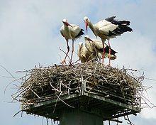 animals of Poland; white stork