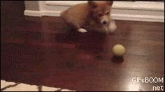 Funny pictures about Corgi puppy has its mind blown. Oh, and cool pics about Corgi puppy has its mind blown. Also, Corgi puppy has its mind blown. Dog Pictures, Best Funny Pictures, You Funny, Hilarious, Funny Gifs, Funny Things, I Love Dogs, Cute Dogs, Corgi Gif