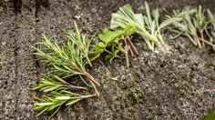 Ende September ist die ideale Zeit, um Stecklinge von Kräutern zu ziehen. Gartenexperte Peter Rasch zeigt, worauf man achten muss, um kraftvolle Pflänzchen heranzuziehen.