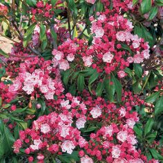 As handsome as a Mountain Laurel can get, with big scarlet buds that open to a wealth of soft pink flowers for a lovely June display. Kalmia Latifolia, White Flower Farm, Home Garden Design, Woodland Garden, Flowering Trees, Tropical Plants, Shade Garden, Native Plants, Plant Care