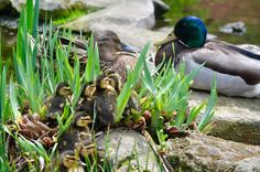 This family of ducks were enjoying the beautiful, spring day at Penn State! Ag Science, Animal Help, Spring Day, Farm Animals, Ducks, Pets, Beautiful