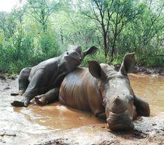 Baby Rhinos Playing