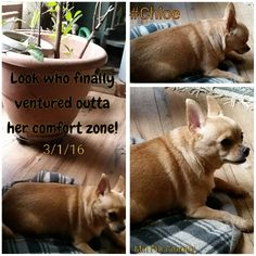 #Chloe #Chihuahua #dogs #family #rescue #rescuedogs #rehomed #MinPinCountry #venture #out #outsidecomfortzone