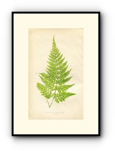 Edward Joseph Lowe Fern (Davallia Chaerophylla) Antique Botanical Print 1860 Wood Block Engraving, Book Plate by TheOldMapShop on Etsy
