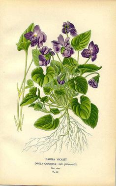 wapiti3: Parma Violet (Viola odorata) on Flickr. Via Flickr: Favourite Flowers of the Garden and Greenhouse (England, 1896)