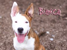 Bianca is an adoptable Pit Bull Terrier Dog in Indianapolis, IN.  This pretty girl is Bianca! She loves to play! She jumps, but that's just a training issue. She likes people and does really well with other dogs!