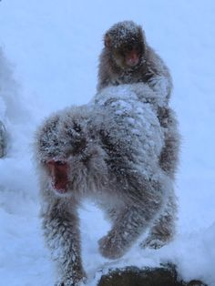 Another Japanese snow macaque