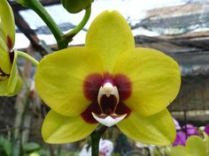 Phalaenopsis Mituo Golden 'M-2'