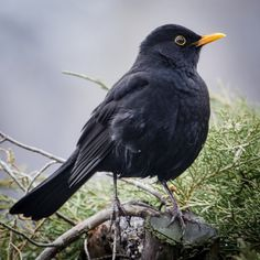 You can make life much easier for blackbirds by mulching your flower beds with leaf-litter, keeping your lawn mown, planting fruiting shrubs and trees (especially dense, thorny ones) and planting climbers against walls Beautiful Birds, Animals Beautiful, Cute Animals, All Birds, Little Birds, British Wildlife, All Nature, British Garden, Bird Feathers