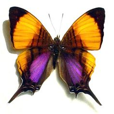 Real Purple Orange Conservation Quality by REALBUTTERFLYGIFTS, $29.99