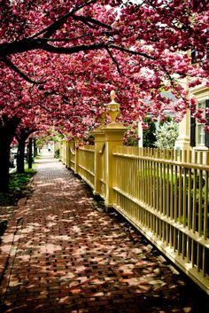 Trees in bloom... Salem, Mass. I remember seeing this Sr. Year when we took our New York trip. Out of all the awesome stuff we saw & did, the blooming Cherry Blossom trees are what I remember best. SOOOO gorgeous!