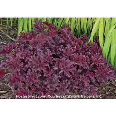 'Melting Fire' is named for the bright red color of its new foliage in spring. The mature foliage is deep maroon with heavily ruffled edges. Dark red stems carry a profusion of white flowers in late spring and early summer. Shade Garden, Garden Plants, Flower Gardening, Coral Bells Heuchera, Small White Flowers, Purple Flowers, Shade Plants, Outdoor Plants, Outdoor Spaces