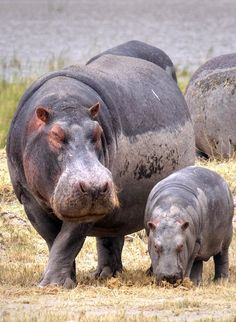 Hippopotamus with a little baby hippo in the savannah of Africa | Discover why Millions of Tourists visit South Africa