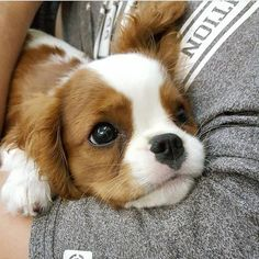 This Cavalier puppy has such a sweet little face! 🙂 This Cavalier puppy has. The post This Cavalier puppy has such a sweet little face! :) appeared first on Bruce Kennels. Cute Baby Animals, Funny Animals, Cutest Animals, Animals Images, Wild Animals, Cute Puppies, Cute Dogs, Cute Animals Puppies, King Charles Puppy