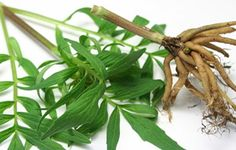 #Valerian is having white and pink in colour with a lovely scent attached to it.  • Treat people suffering with #liver problems, #urinarytract infections and #digestivetract problems.  • Used to ease #muscle and #jointpain.  • Can be added to bath water to relax the #muscles and ease nerves.  Read more:- http://falcon18.com/health-blog/Best-Ingredient-And-Herbs/To-Know-About-Valerian/Benefits-and-Advantages-of-Valerian.html