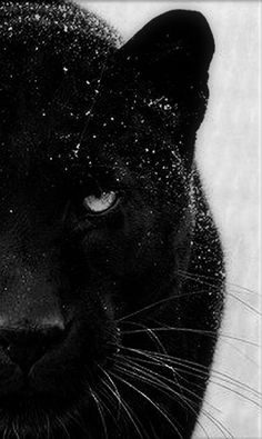Black And White Picture Wall, Animals Black And White, Black And White Pictures, Black Lion, Pretty Animals, Most Beautiful Animals, Cute Animals, Black Jaguar Animal, Black Panther Cat