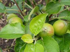 Young apples, summer 2014