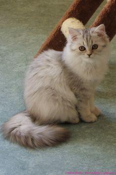 Irina de la Querencia, chaton femelle British Longhair de 4 mois. crédit photo : Bernadette Capparos