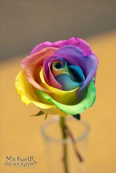 petite rainbow rose