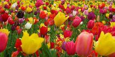 Resultado de imagen para tulipanes