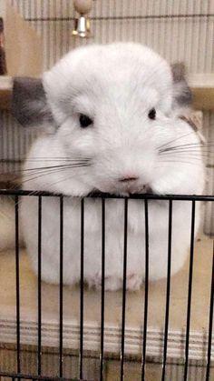 (Is proper) #aww #cute #chinchilla #chinnies #chinchillasofpinterest #cuddle #fluffy #animals #pets #bestfriend #boopthesnoot #itssofluffy #rodents