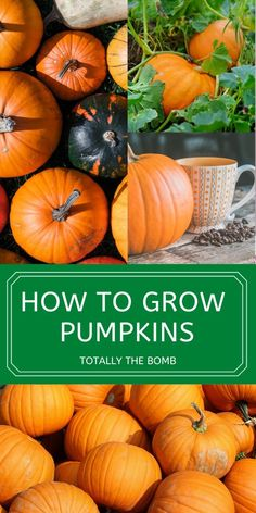 Learning how to grow pumpkins in your garden can be extremely rewarding. From large jack-o'-lantern pumpkins to sweet pie pumpkins you have many great options when planting the squash. #pumpkins #howtogrowpumpkins #gardening