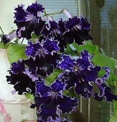 Streptocarpus Sochi Chezhye Nochi  (Russian variety- plug plant)