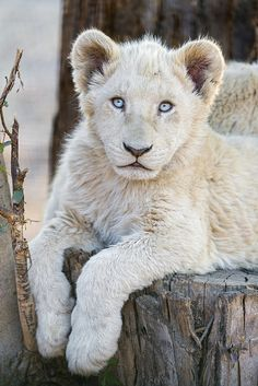 White Lion Cub by Tambako the Jaguar