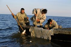 Nenets men hauling a fish net with a catch of Muksun near the mouth of the River Ob.Yamal, W.Siberia, Russia
